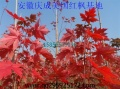 美国红枫小苗低价供应